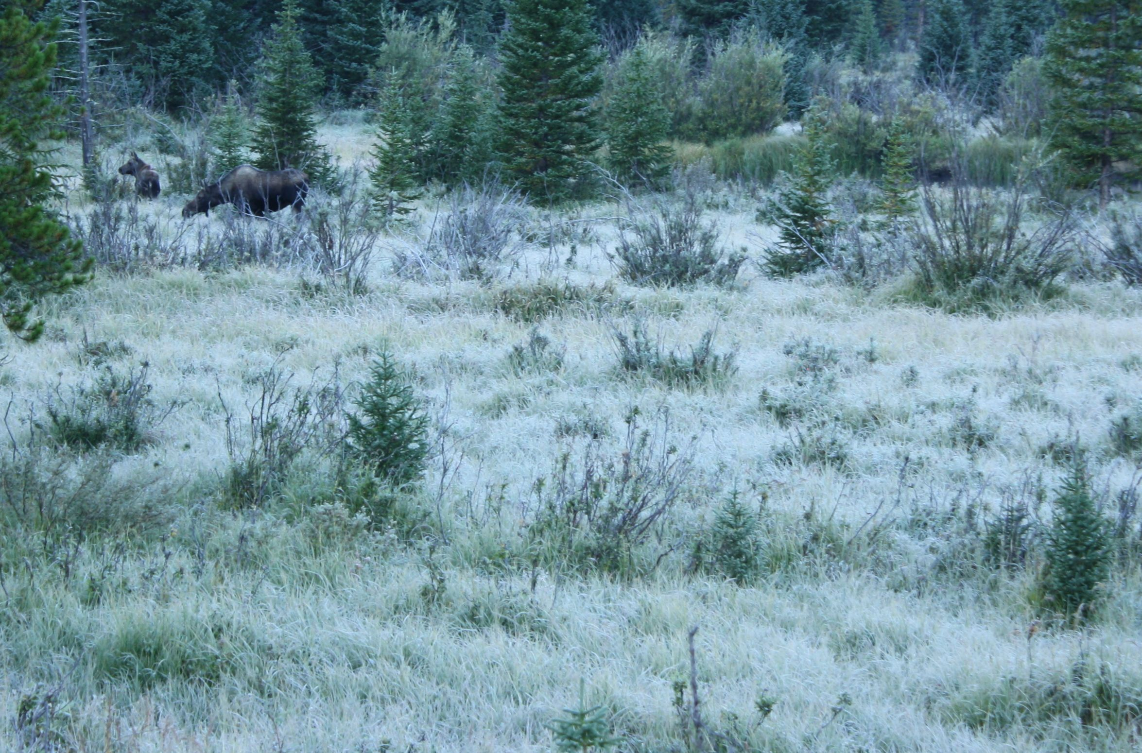 moose momma and calf